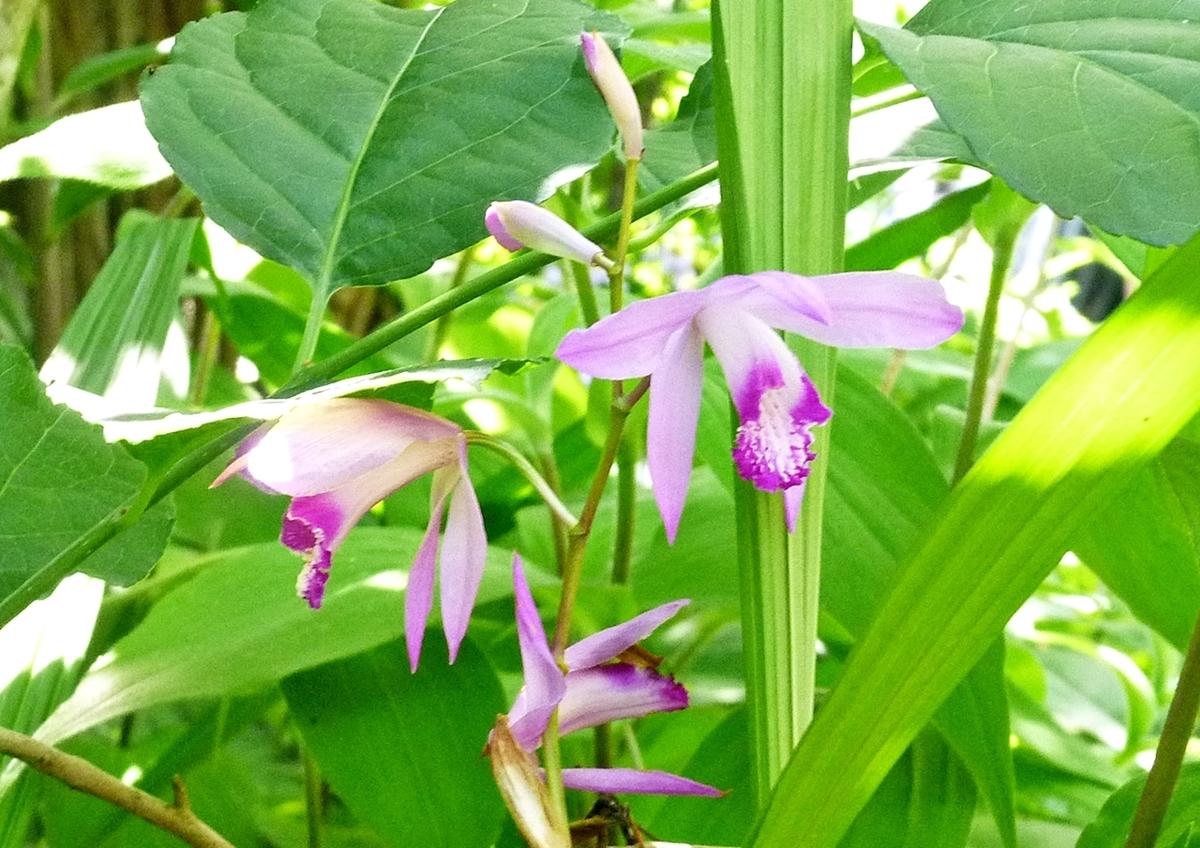 日陰のシラン 紫蘭