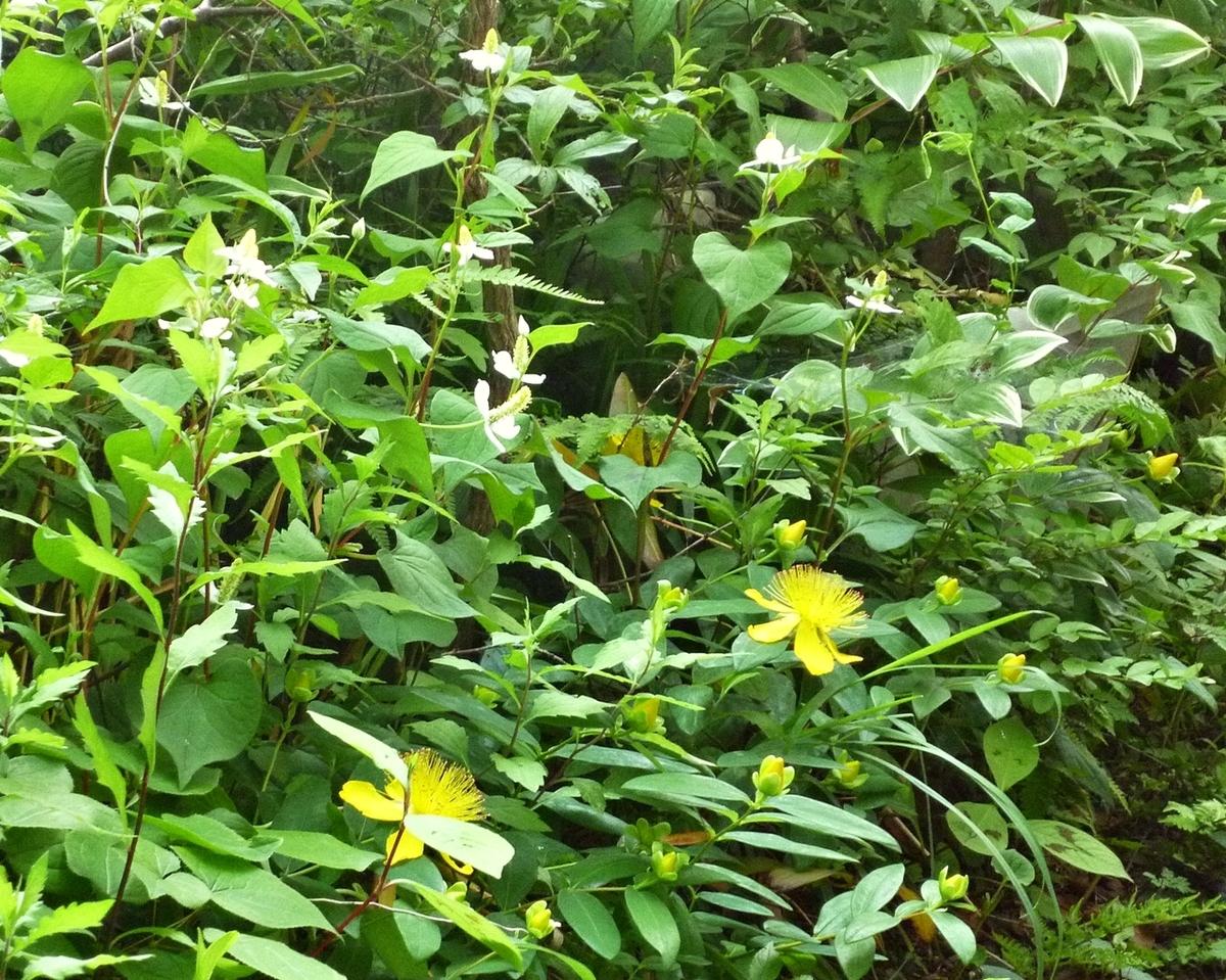 ドクダミ ビジョヤナギ(美女柳) 庭