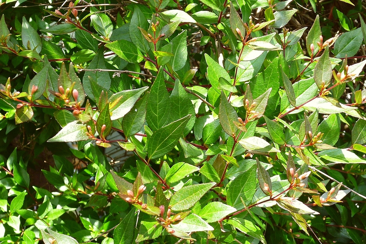 庭の木のつぼみ 蕾