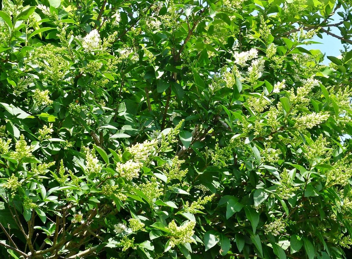 庭の木の白い花