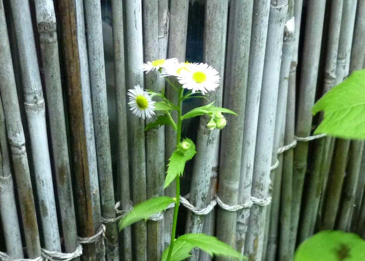 雑草の白い花