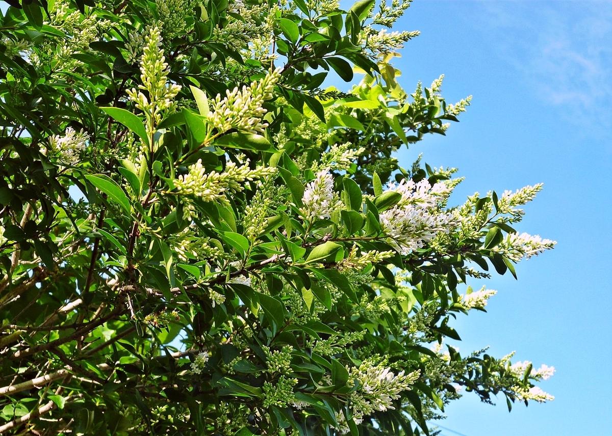 高い木の白い花