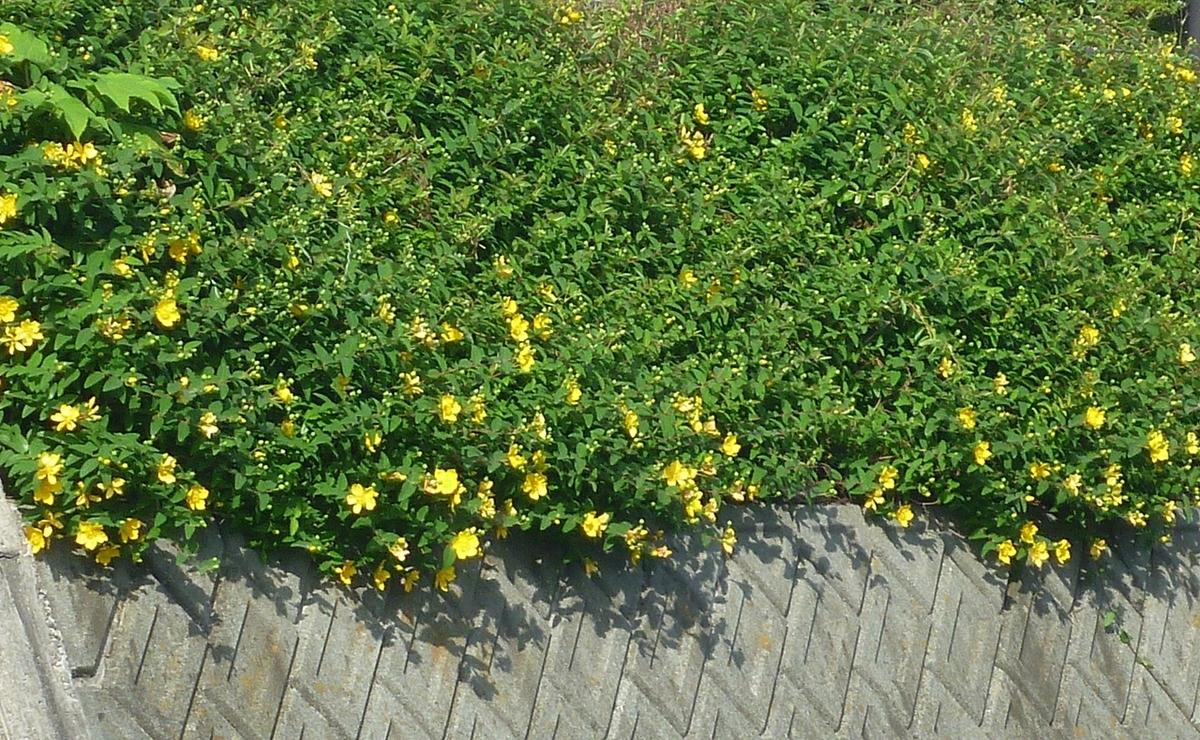 川の斜面の黄色い花