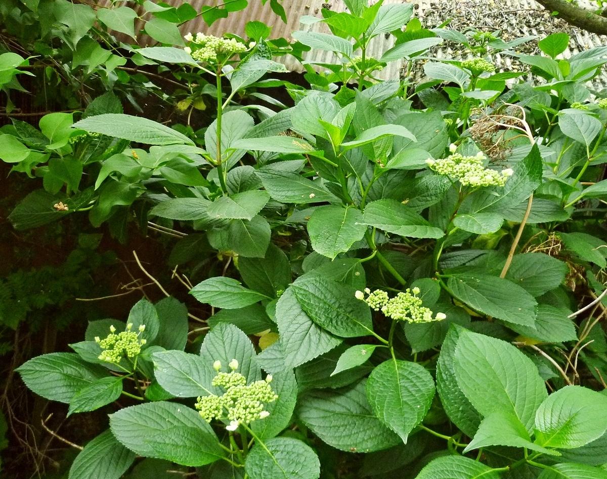 ガクアジサイのつぼみ 蕾 裏庭