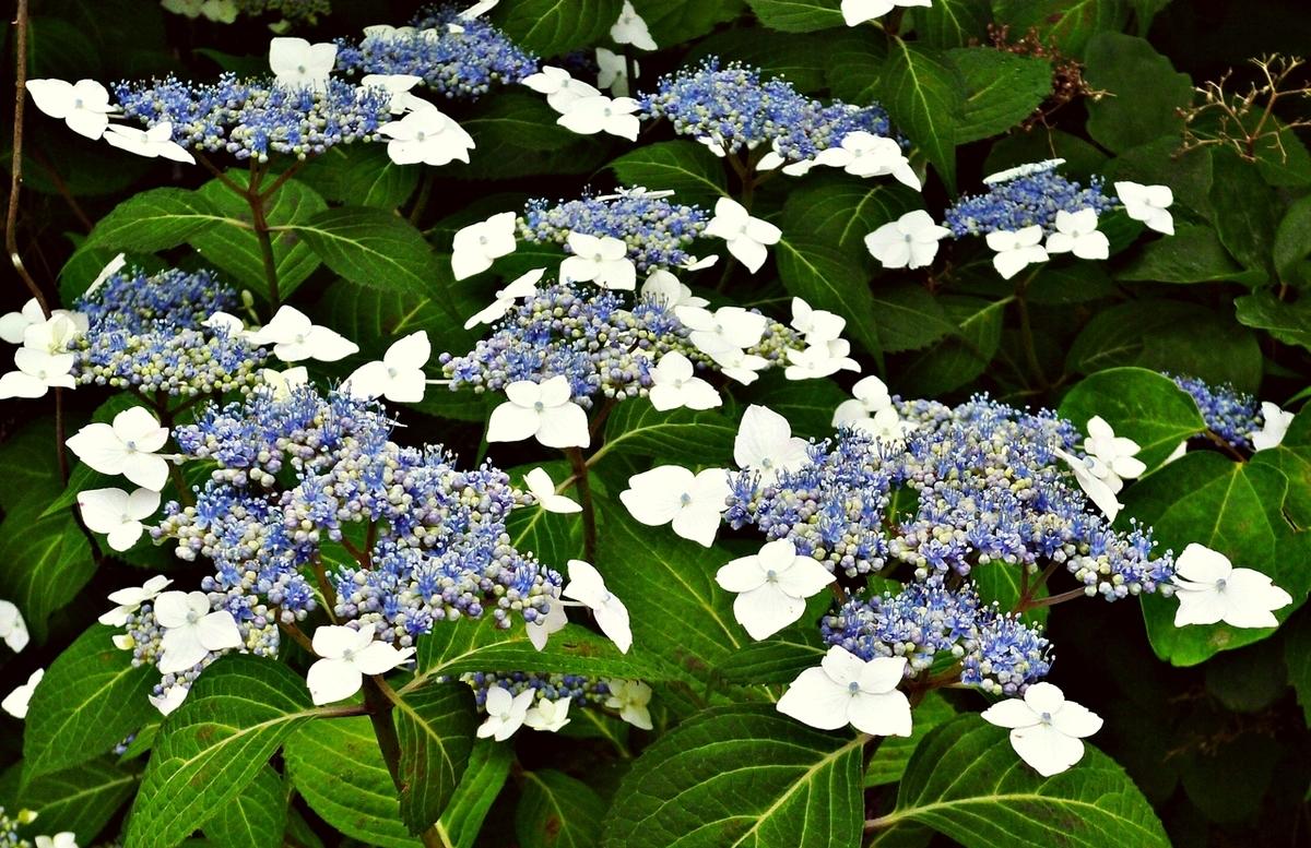 ガクアジサイ 青 紺 紫 花