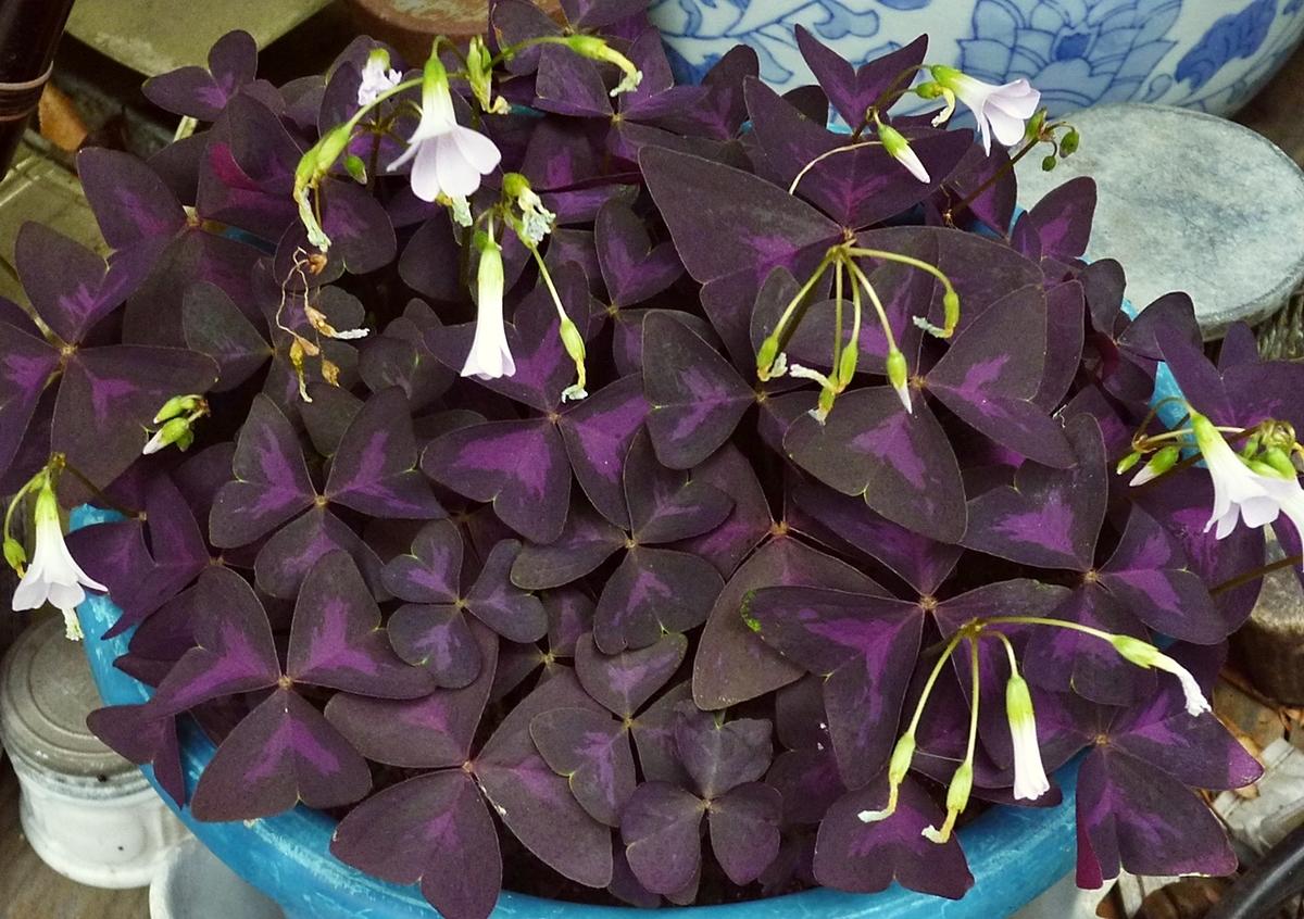 紫の葉の植物 ピンクの花
