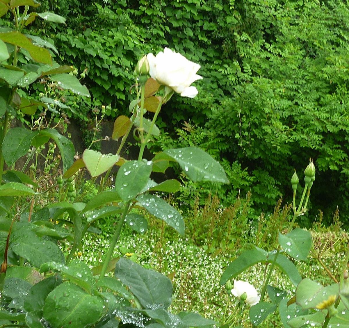 道端の白いバラ