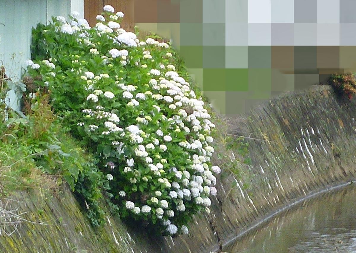 裏庭の裏の白いアジサイ ガクアジサイ