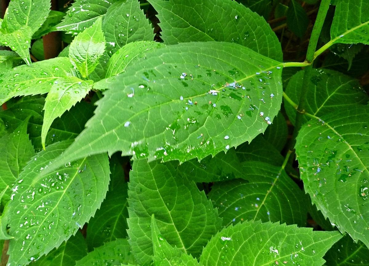 ガクアジサイの葉