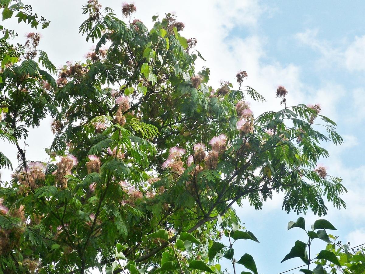ネムノキ ネムノキの花 裏庭