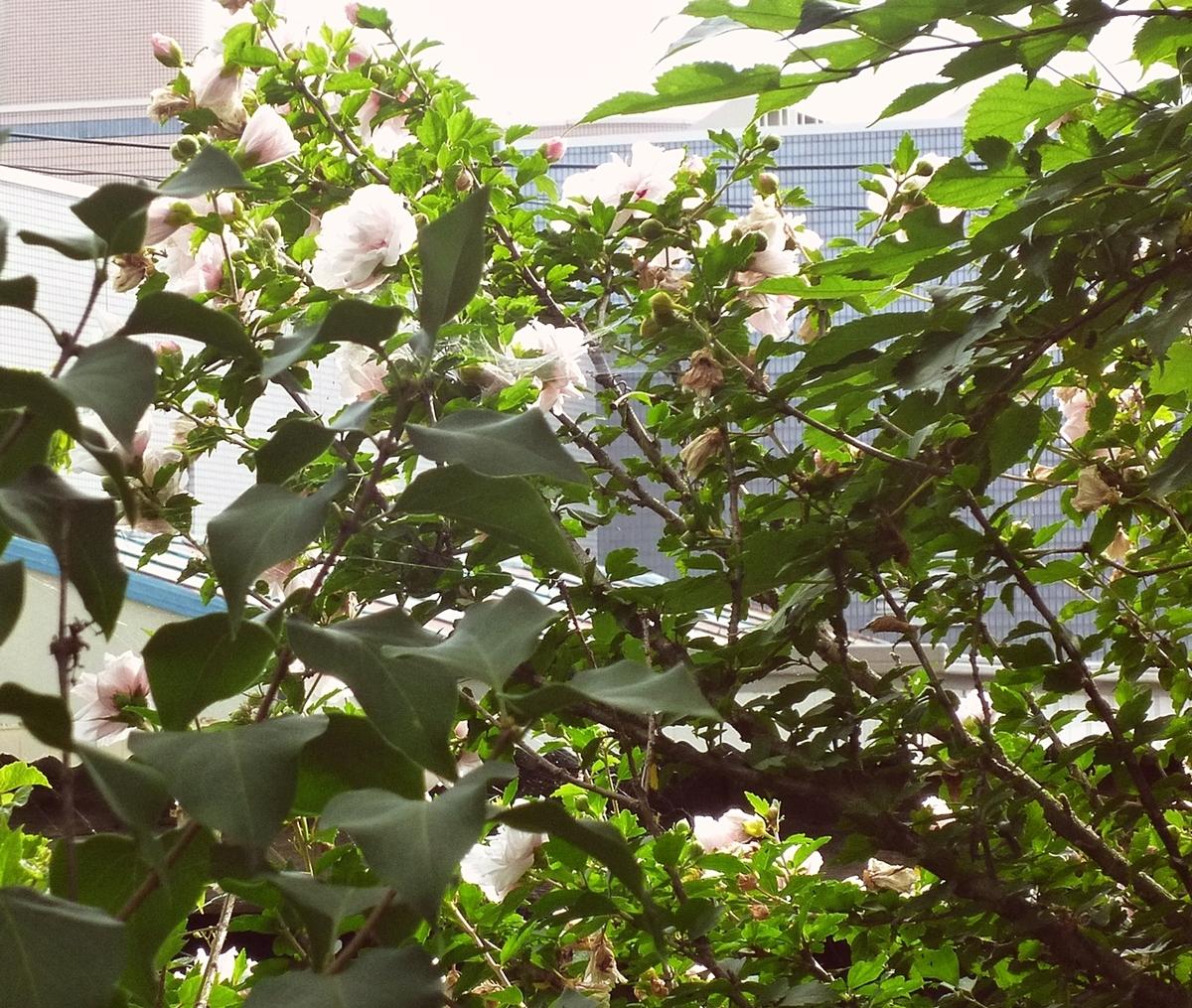 ムクゲ 花 裏庭の木