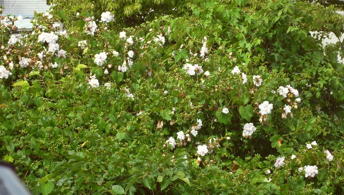 庭のムクゲ