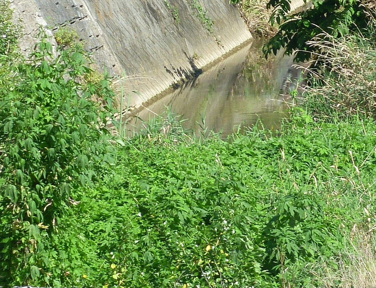 川の中の雑草