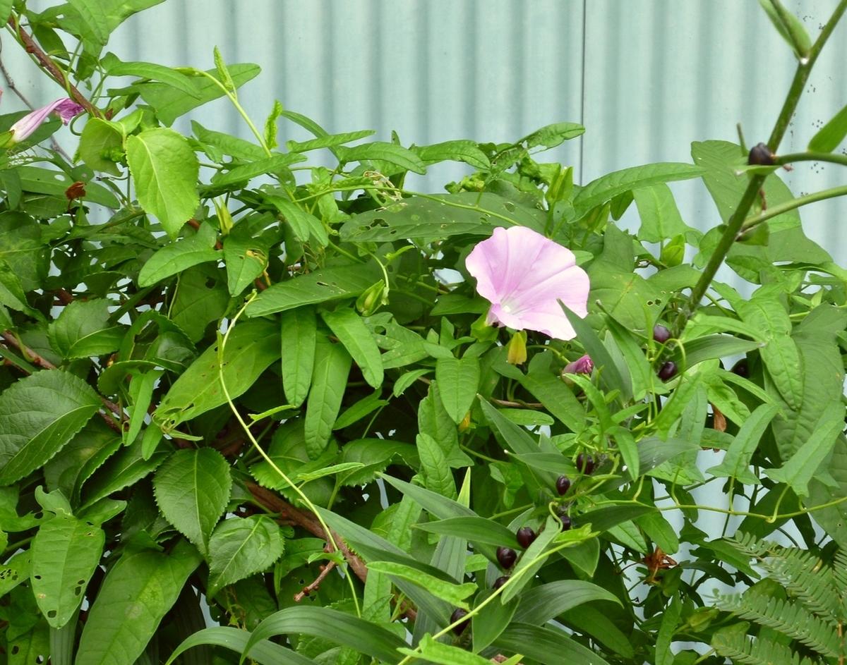 アサガオに似たピンクの花