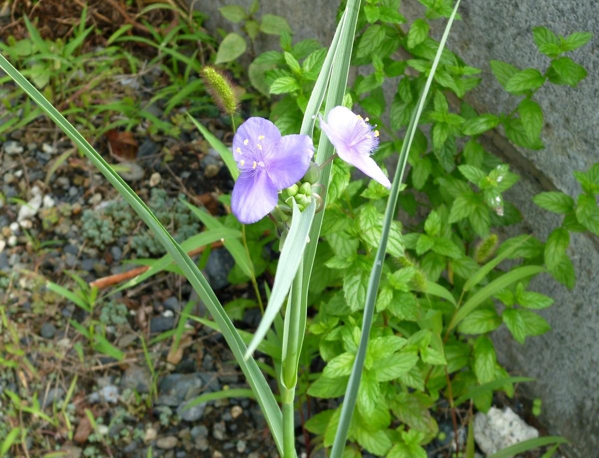 9月に咲いたツユムラサキ