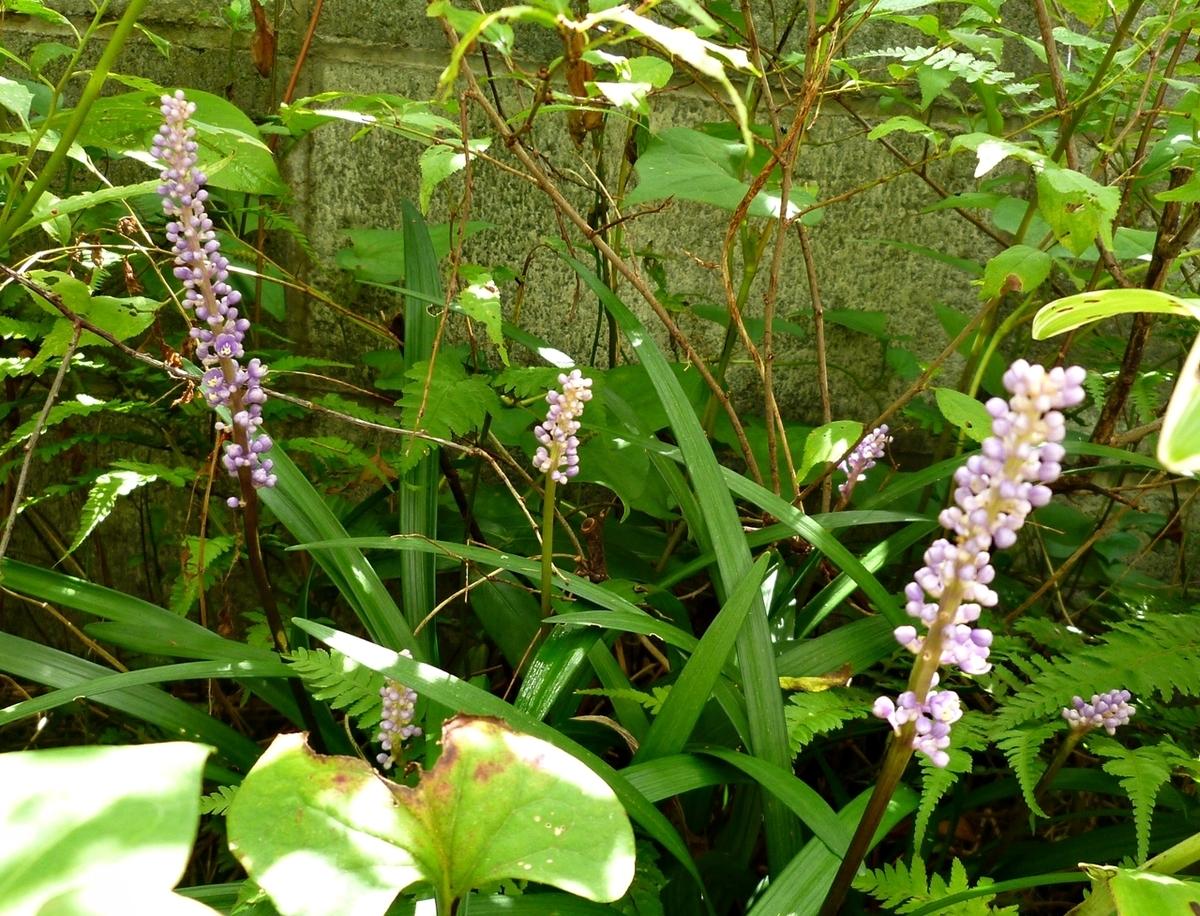 紫のヤブラン
