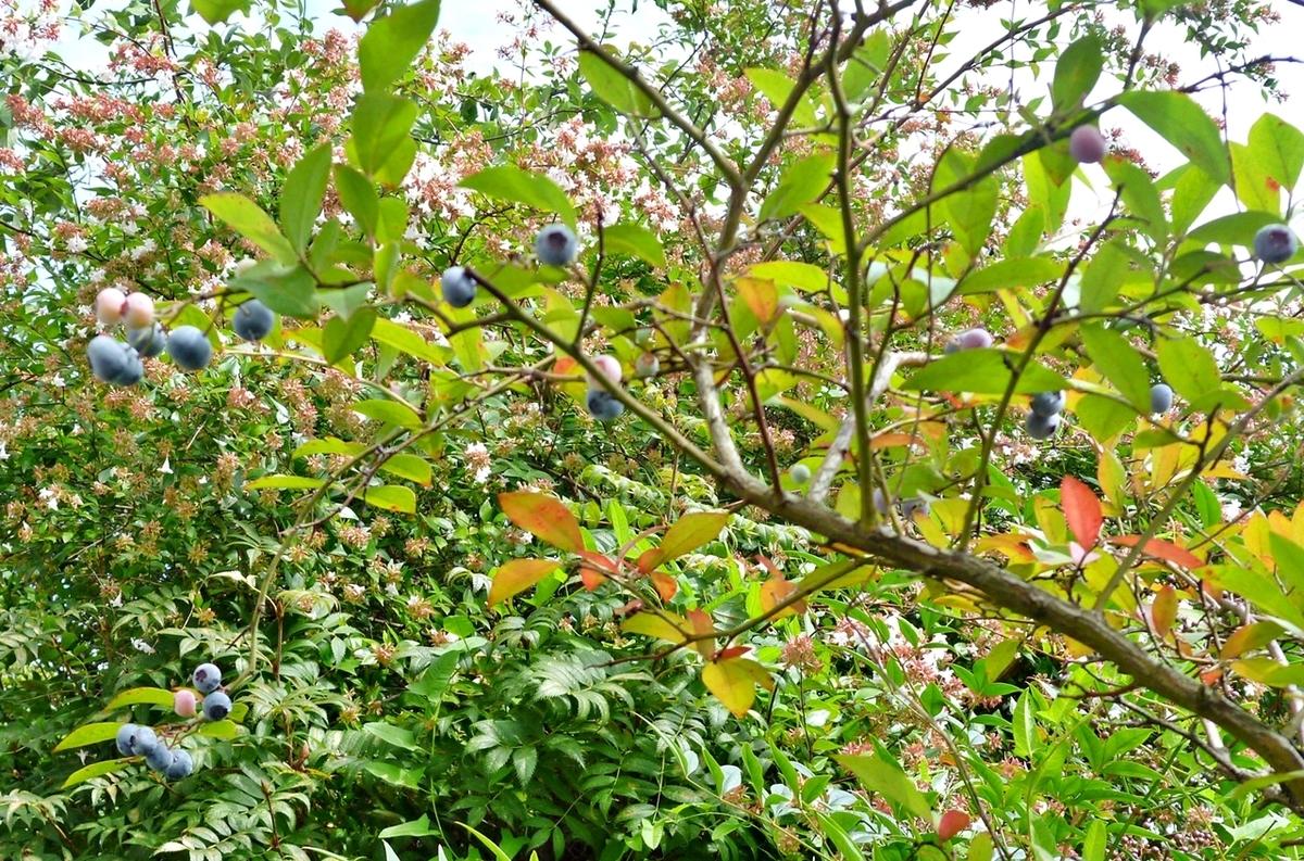 ブルーベリーの実と紅葉