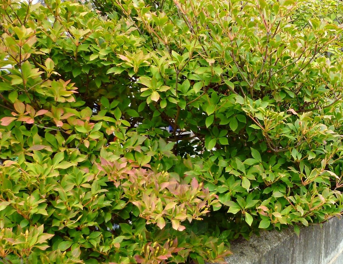 庭の紅葉 ドウダンツツジ