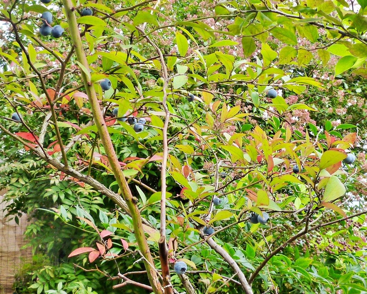 庭のブルーベリーの実と紅葉