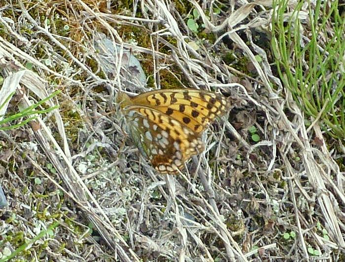 ギンボシヒョウモン オレンジ色の蝶