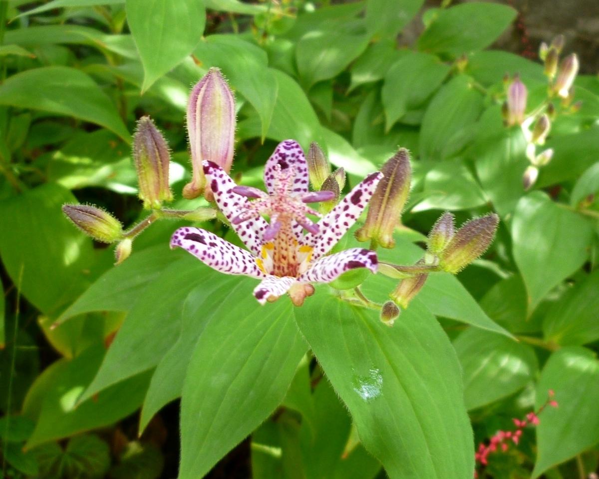 庭で咲いたホトトギスの花