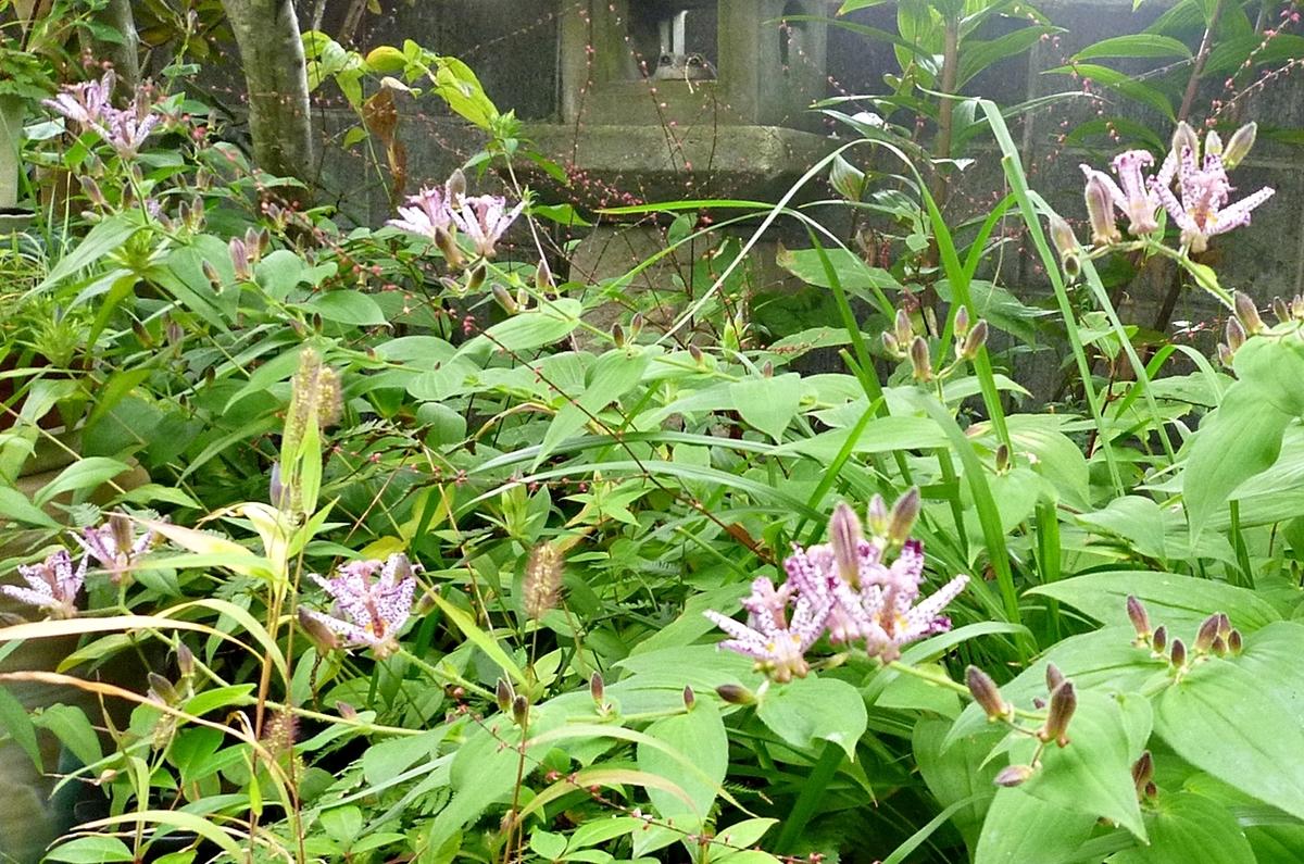 庭のホトトギスの花