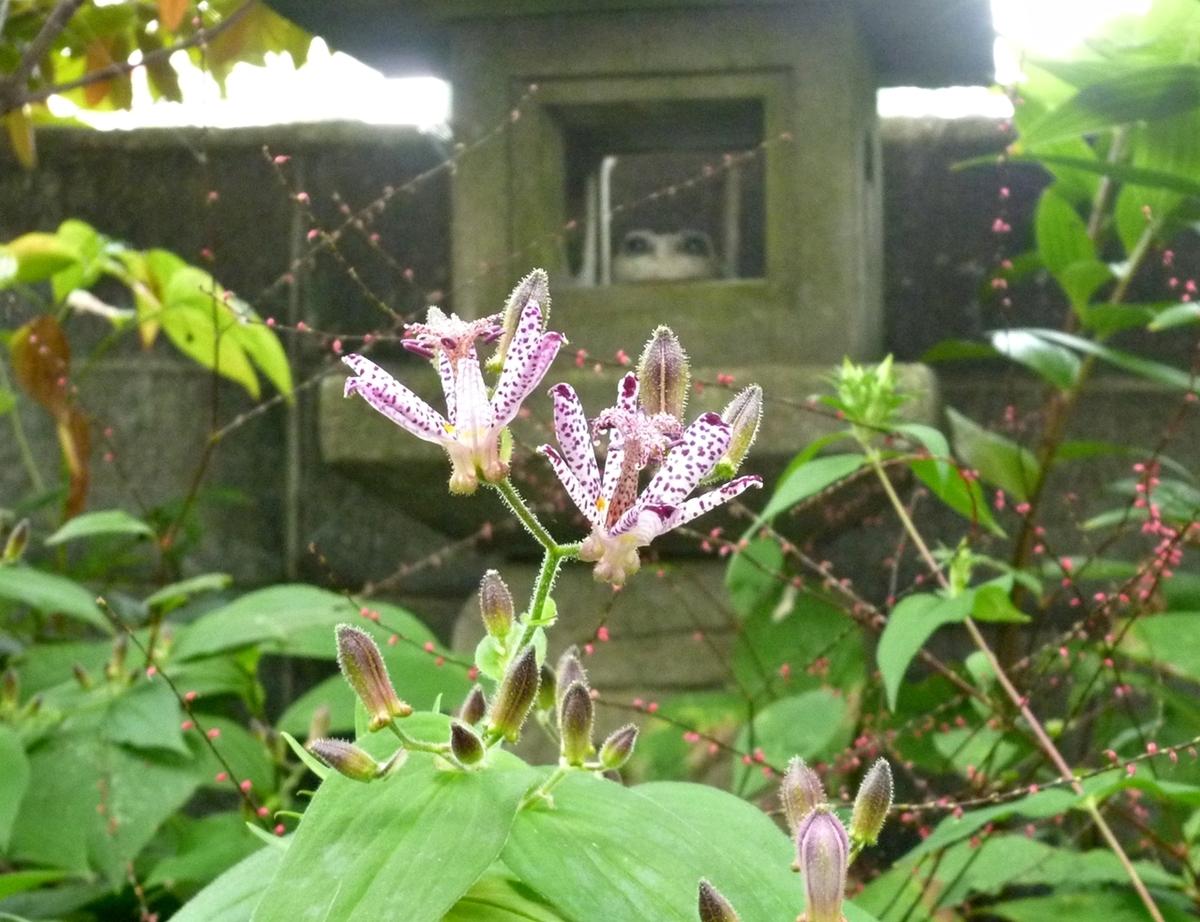 ホトトギスの花と石灯篭 庭先