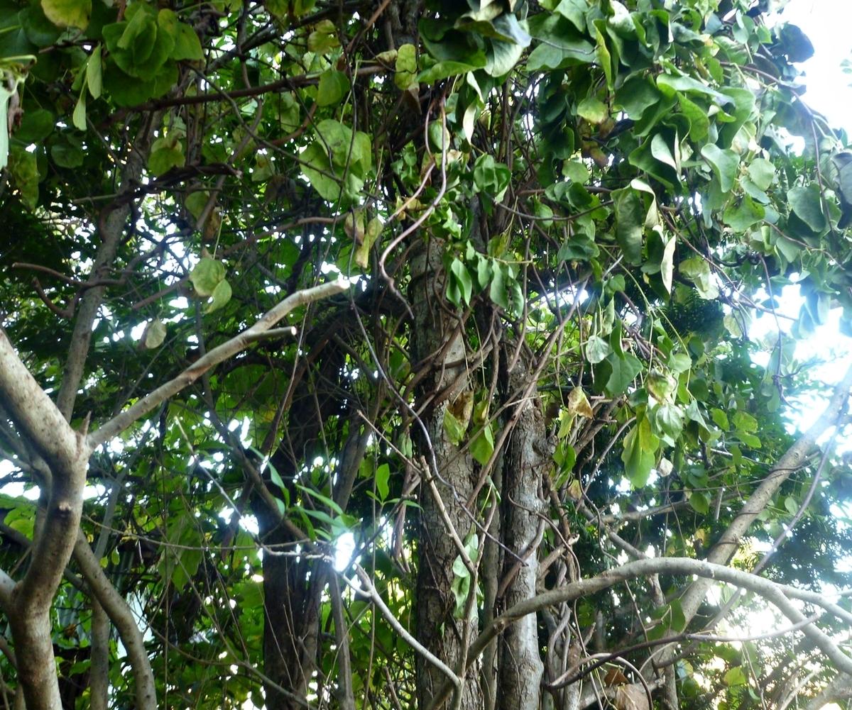 アケビの木 上部