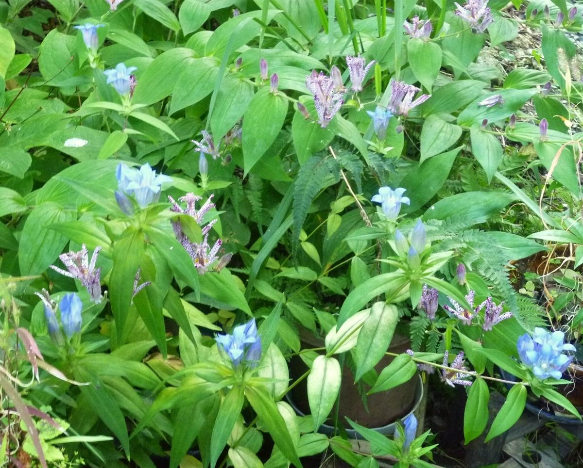 リンドウとホトトギスの花