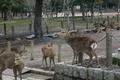東大寺南大門前にいた鹿の群れ