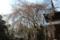 東南院の枝垂れ桜