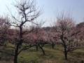 大阪城公園の梅林