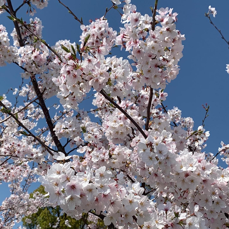道中で見かけた満開の桜