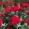 長居植物園のバラ