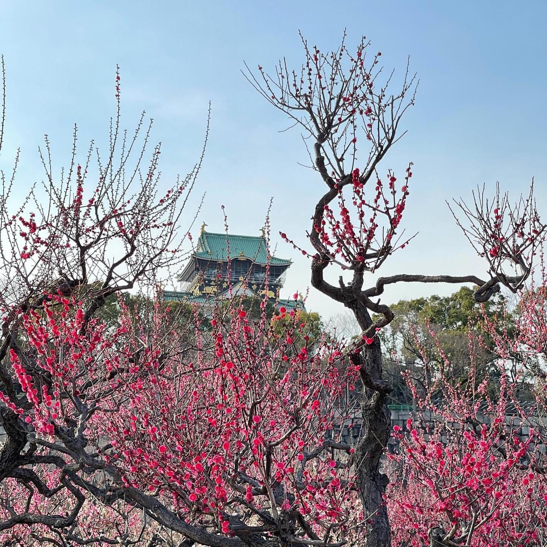 梅林と大阪城天守閣