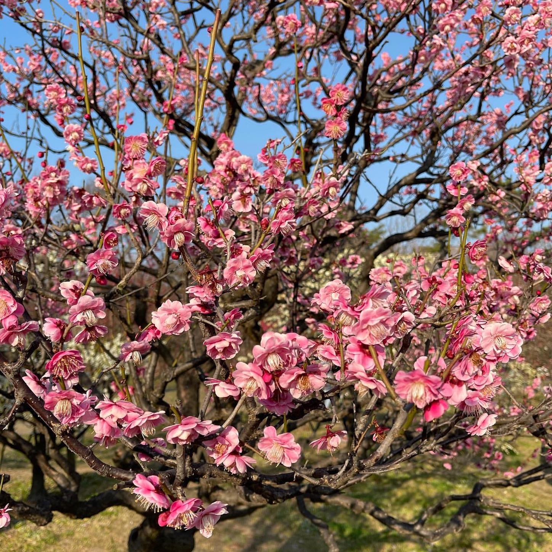 長居植物園の梅