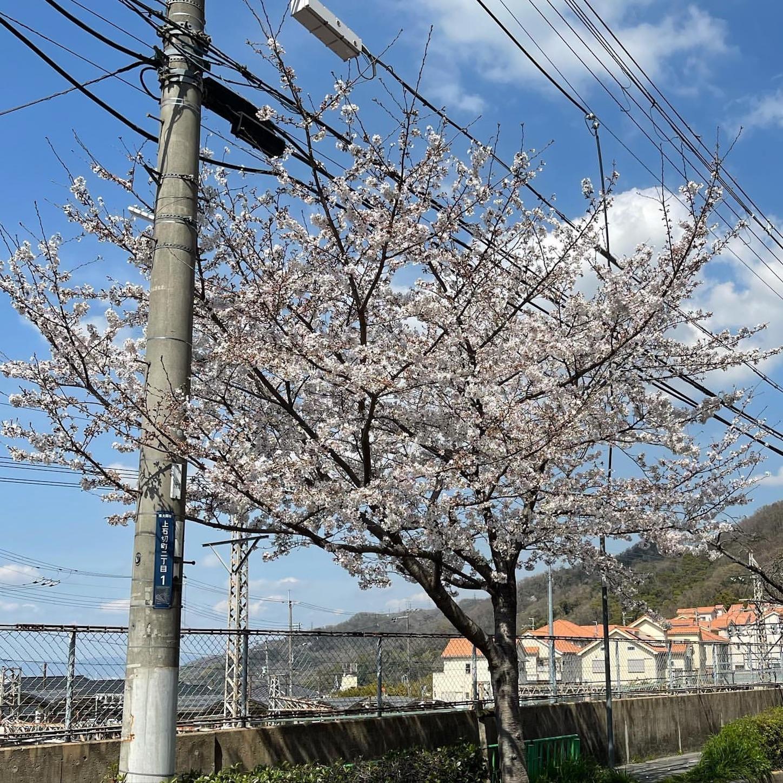 石切駅の桜
