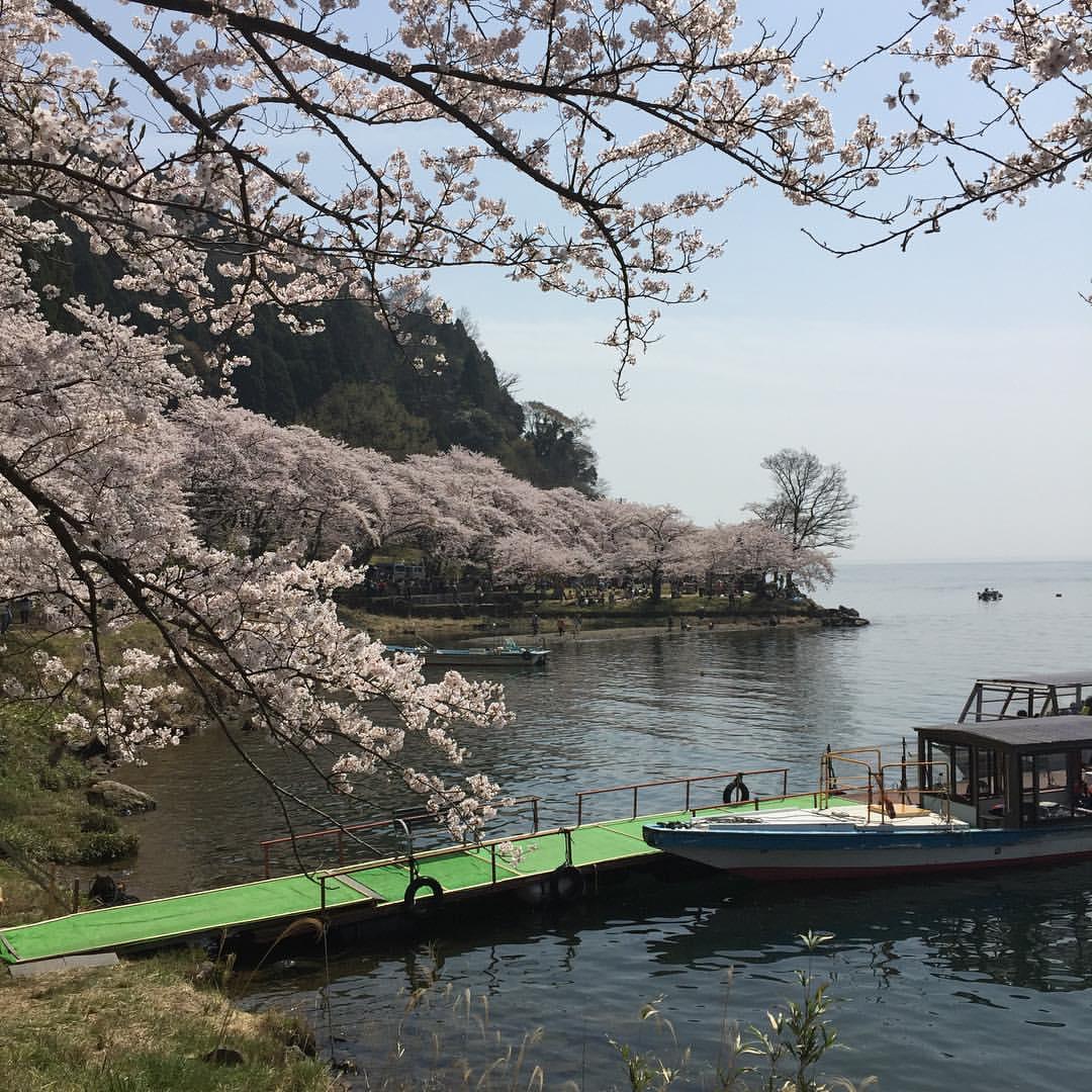 海津大崎の桜1