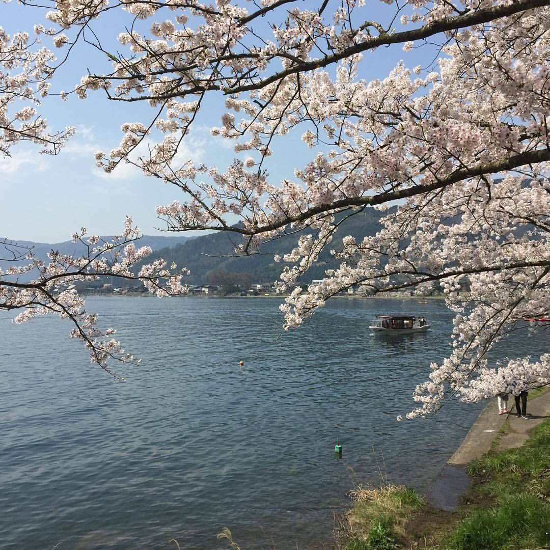 海津大崎の桜2