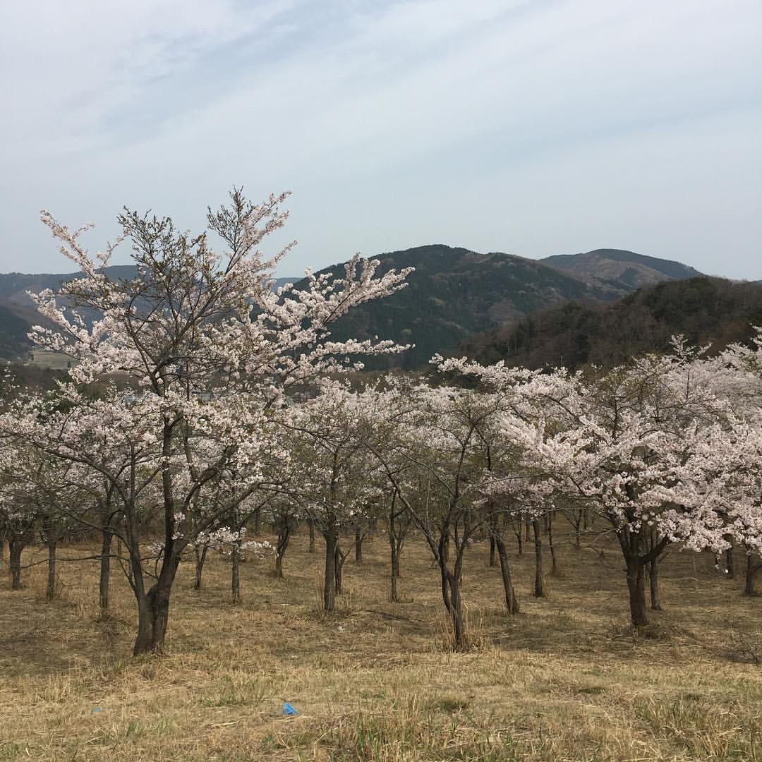 マキノ高原の桜1