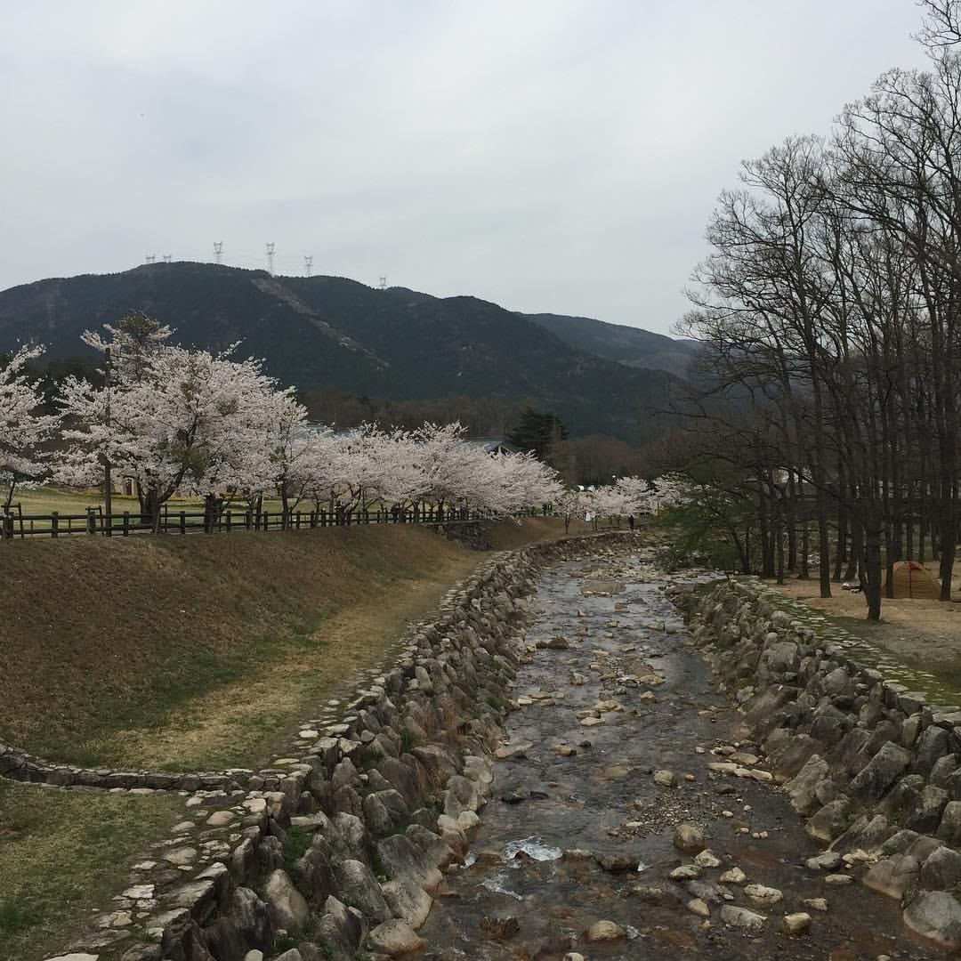 ヨキトギ川沿いの桜1