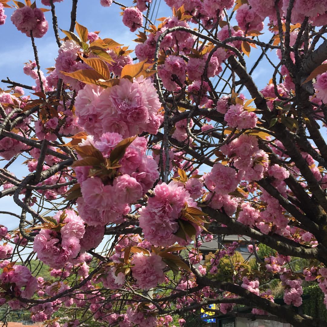 石切駅の八重桜
