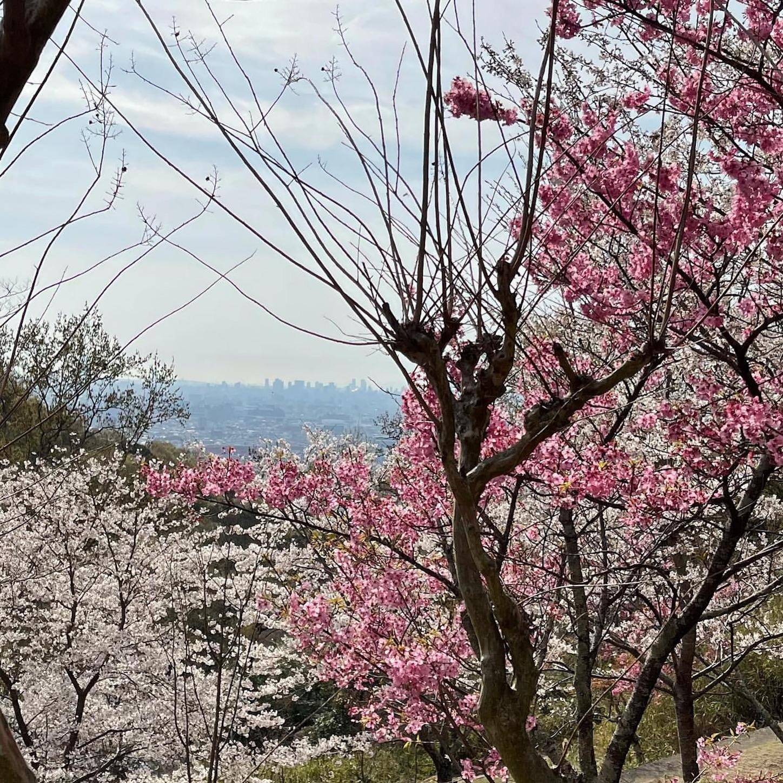 枚岡公園の桜広場
