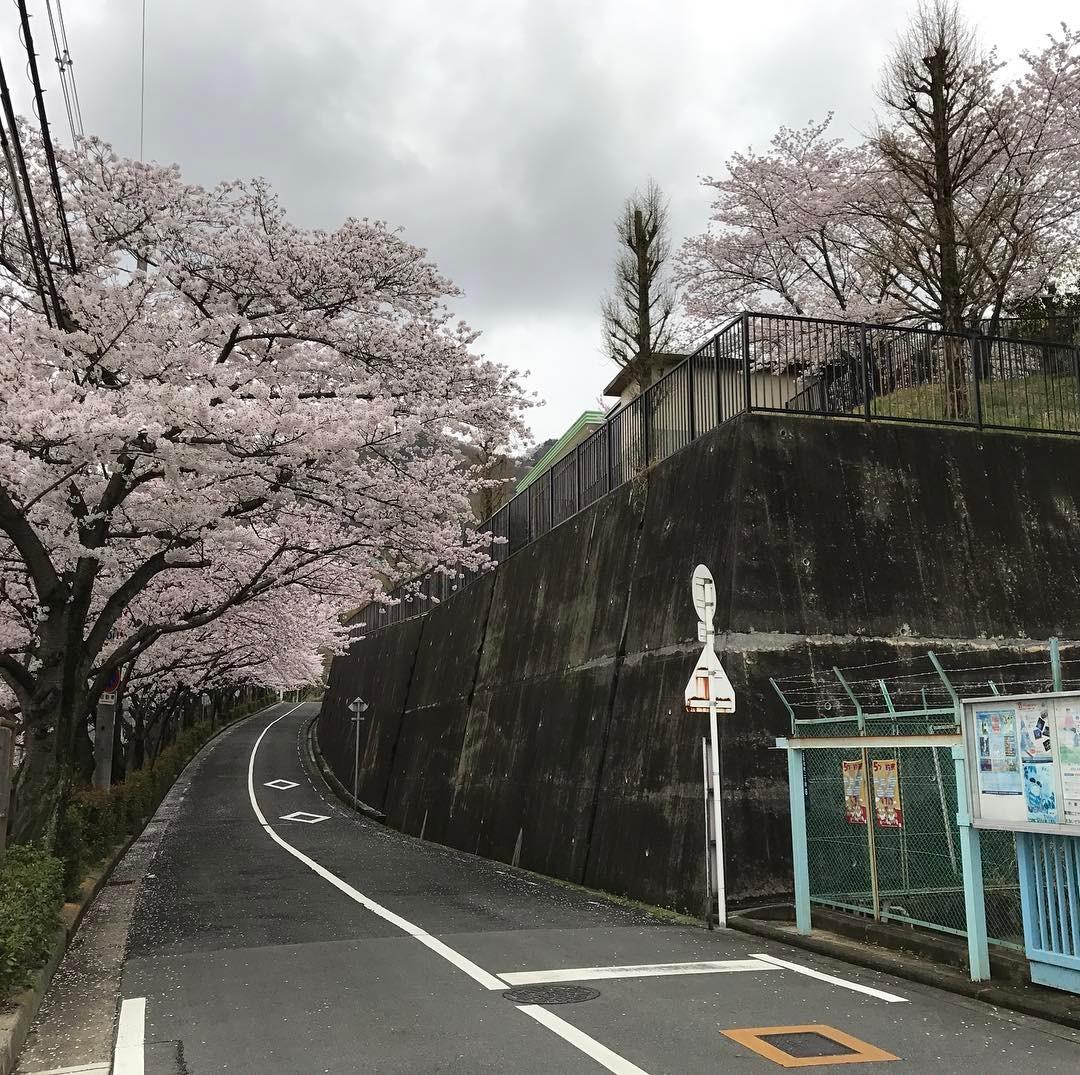 石切駅東側の桜
