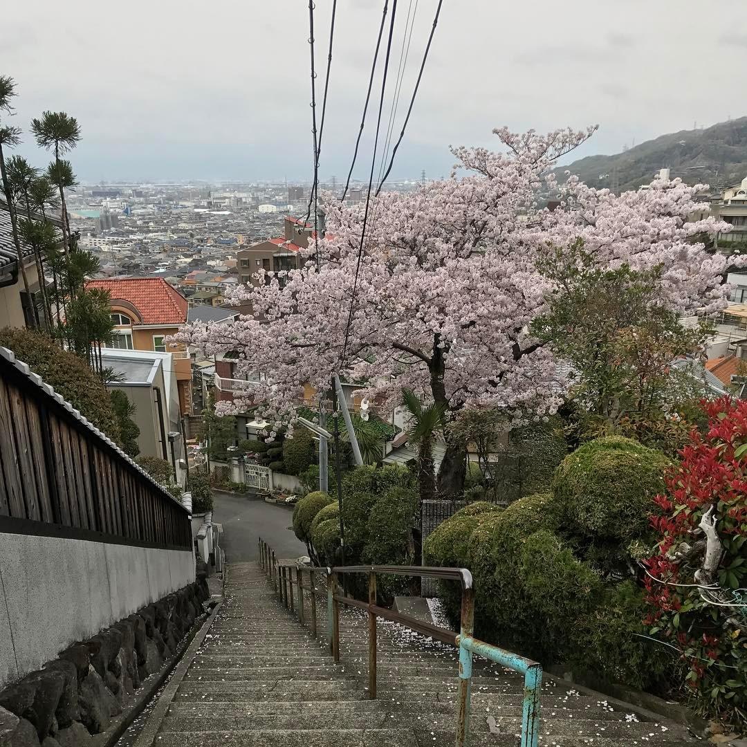 大阪平野を眺めながらめでる桜