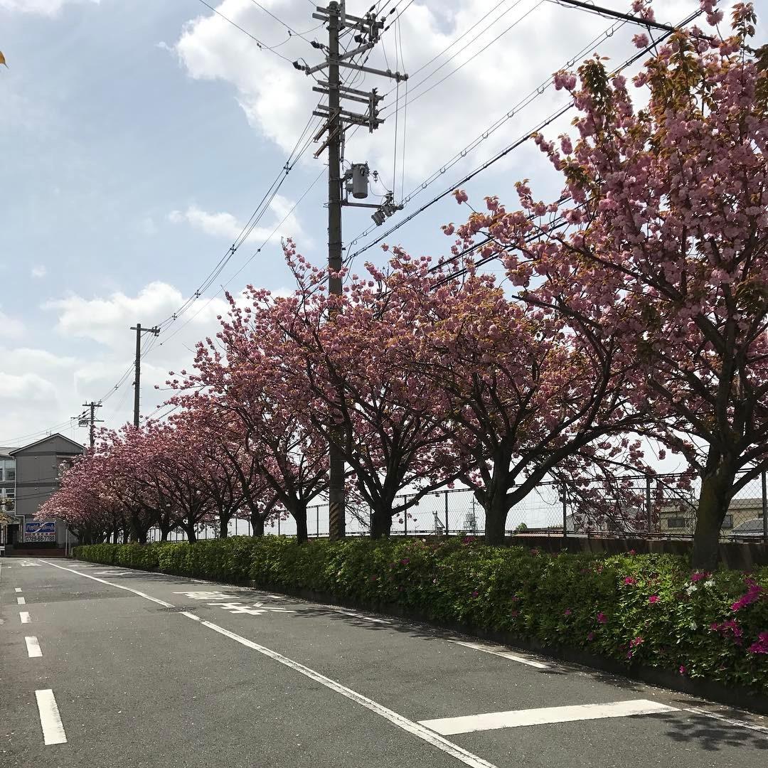 石切駅西側の八重桜
