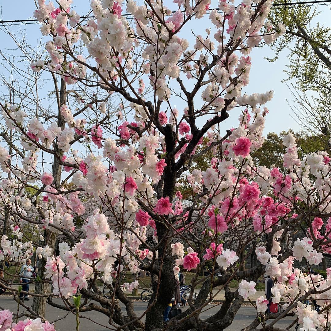 大阪城公園の桃園の桃