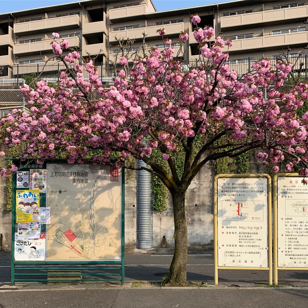 石切駅前の八重桜