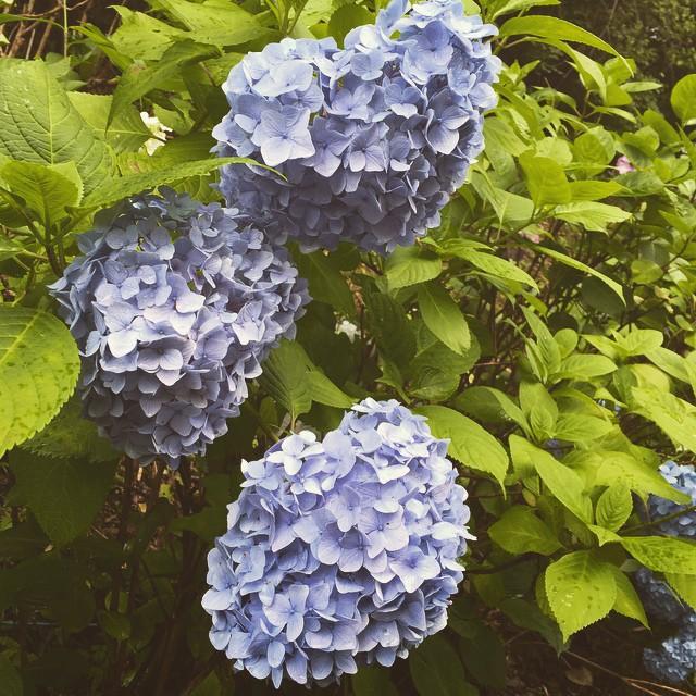 生駒山の紫陽花