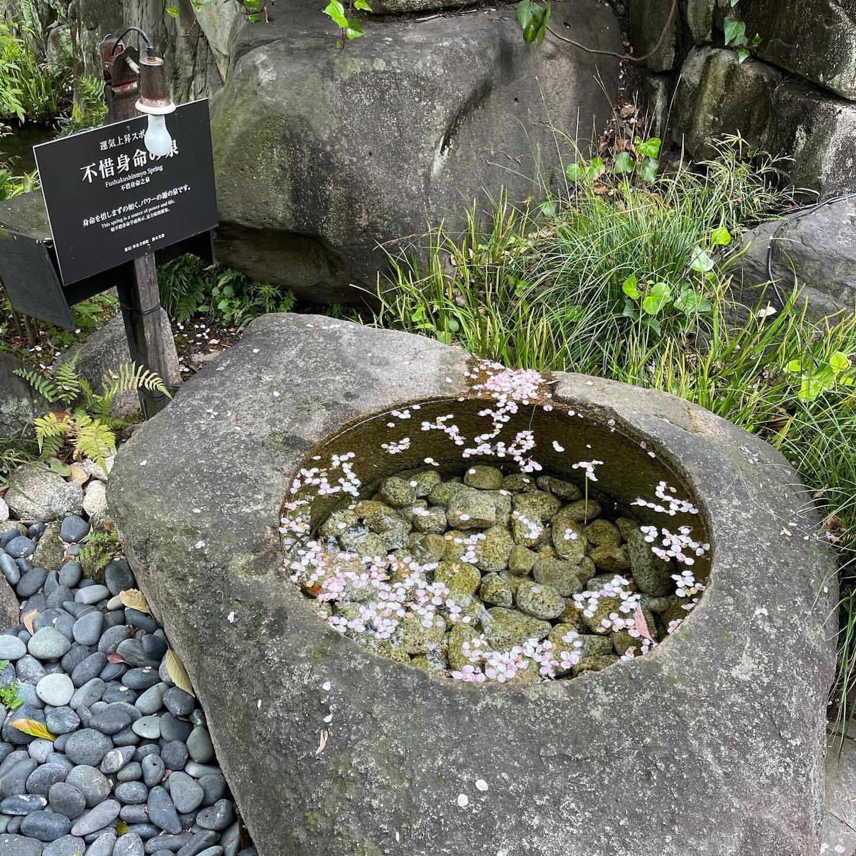 不惜身命の泉と桜の花びら